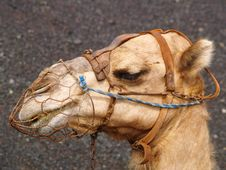 Free Camel Royalty Free Stock Image - 3401626