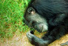 Free Sleeping Chimpanzee Royalty Free Stock Images - 3402939