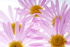 Free Pink Asters Royalty Free Stock Photo - 3403085