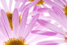 Free Asters Stock Photography - 3403092