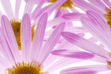 Free Asters Stock Images - 3403474