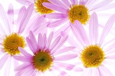 Free Pink Asters Royalty Free Stock Photography - 3403487