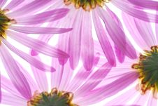 Free Asters Royalty Free Stock Images - 3403489