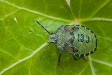 Free Green Bug Royalty Free Stock Photography - 3403747