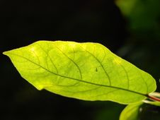Free Leaf And Bug Royalty Free Stock Image - 3404726