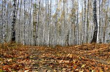 Free Autumn Birch Forest Royalty Free Stock Image - 3405436