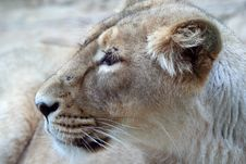 Free Lion Stock Photos - 3407973