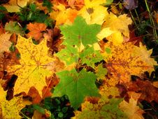 Free Maple Leaves Royalty Free Stock Images - 3408269