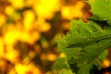 Free Autumn Maple Background Stock Photo - 3409470