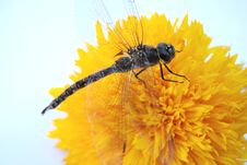 Free Dragon Fly On Yellow Flower Stock Images - 3409474