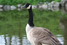 Free Canadian Goose Stock Images - 3409784