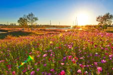 Free The Perennial Coreopsis Sunset Stock Images - 34000624