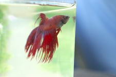 Free Betta Fish Blue Background Royalty Free Stock Images - 34001069