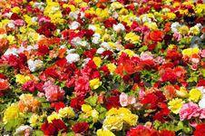 Free Begonia Royalty Free Stock Photos - 34002278