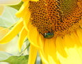 Free Big Green Beetle On A Sunflower Royalty Free Stock Images - 34014879