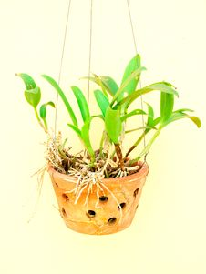 Free Potted Orchids Stock Images - 34010944