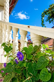 Free Violet Flower Climbing A White Column Royalty Free Stock Photo - 34019355