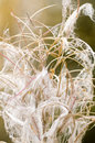 Free Fireweed In Fall Stock Images - 34024444