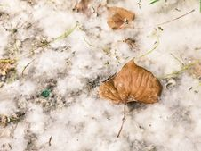 Free Dry Leaf On A Dandelion Carpet Stock Photos - 34022353