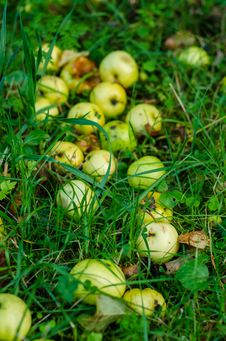 Crab Apples In The Grass Royalty Free Stock Photos