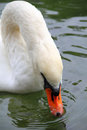 Free Swan Eating Stock Photography - 34065562