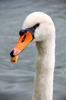 Free Swan With Leaf In Its Beak Royalty Free Stock Image - 34065546
