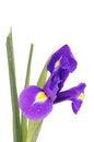 Free Iris Royalty Free Stock Photo - 34078165