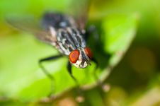 Free Common Housefly, Fly Stock Images - 34073724