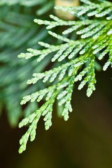 Thuja Leaf Stock Image