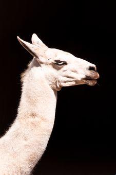 Free Llama Royalty Free Stock Image - 34074466
