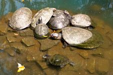 Free Turtle Family Royalty Free Stock Photography - 34074517