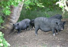 Free Pigs Stock Photos - 34074633
