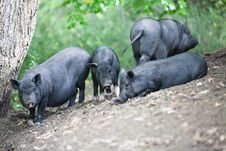 Free Pigs Royalty Free Stock Image - 34074756