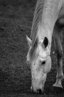 Free White Horse Royalty Free Stock Image - 34075926