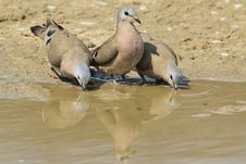 Free Emerald Spotted Dove - Wild Bird Background From Africa - The Odd One Out Stock Photography - 34076172