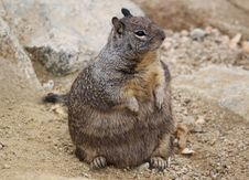 Free California Ground Squirrel Stock Photography - 34085272