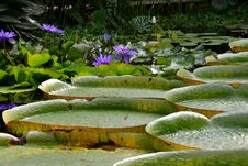 Free Water Lilies Royalty Free Stock Photo - 34086365