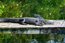 Free Alligators Royalty Free Stock Images - 34089489
