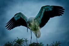 Free Wood Stork Stock Photography - 34089562