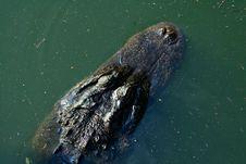 Free Alligator Royalty Free Stock Photos - 34089668