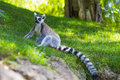 Free Are Ring Tailed Lemurs Stock Image - 34090391