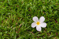 Free White Plumeria Flower Stock Photo - 34094370