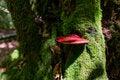 Free Red Mushroom Grows On Tree Royalty Free Stock Image - 34094816
