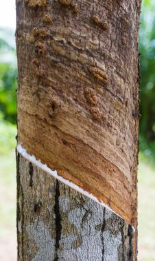 Latex From Rubber Tree Cut Royalty Free Stock Images
