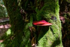 Free Red Mushroom Grows On Tree Royalty Free Stock Image - 34094816