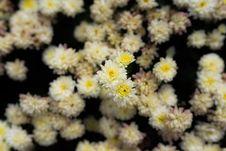 Free Small White Flowers Royalty Free Stock Photos - 34094828