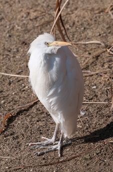 Free Cattle Egret Royalty Free Stock Photography - 34097627