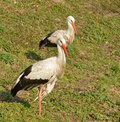 Free Two Storks Royalty Free Stock Image - 3410776