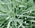 Free Grass With Dew Drops Royalty Free Stock Photo - 3418685