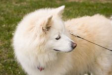 Free Alaskan Dog Stock Photography - 3410552